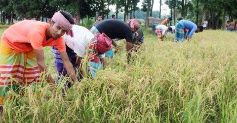 শৈলকুপায় কৃষকের ধান কেটে দিলো ইউনিয়ন ছাত্রলীগ