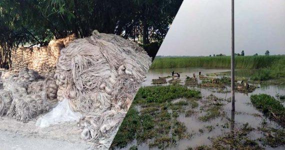 গাংনীতে সোনালী আঁশ পাট নিয়ে চাষিরা হতাশায়