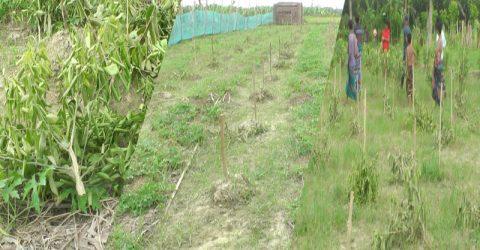 মিরপুরের আশানগরে কৃষককের কমলা-মালটা-পেঁয়ারা বাগান কেটে ফেলেছে দুর্বৃত্তরা