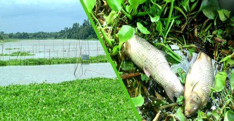 বৈরী আবহাওয়ায় কুষ্টিয়ায় কোটি টাকার মাছ মরে লুট, সর্বশান্ত মৎসজীবিরা